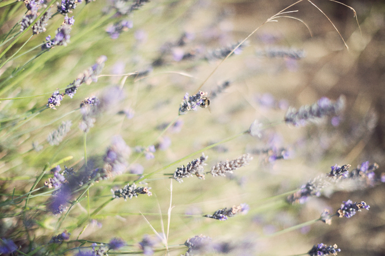 Lavender flower photography